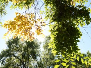 Looking up towards the blue sky through a smattering of tree branches with yellow and green leaves