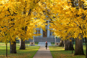 Large trees along a sidewalk with yellow leaves and a single person walking